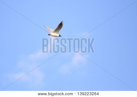 Black-headed Gull (chroicocephalus Ridibundus) In Nuptial Plumage