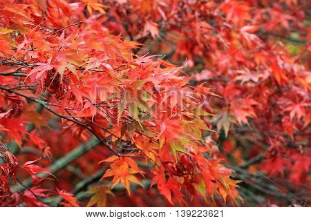 Red leaves on an Acer Tree in the Autumn
