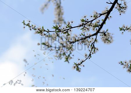 fruit tree blossoming in the spring loses the petals