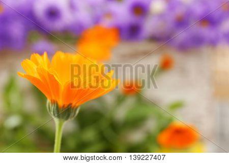 Beautiful calendula flower, close up