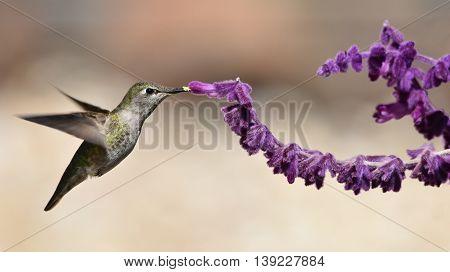 Annas hummingbird feeding on Mexican Sage brush
