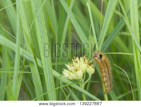 nymph of butterfly on grass and white flower