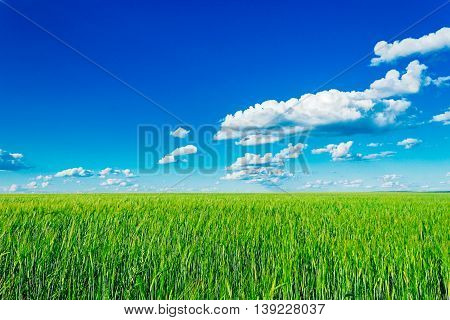 The boundless green wheat field and clouds in the sky