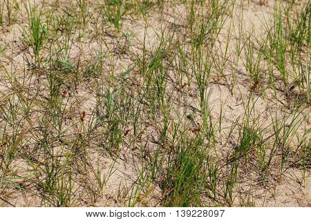 Green grass growing on sand