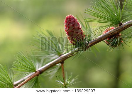 The larch tree branch with young cones