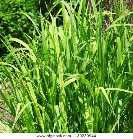 Green grass bush in garden