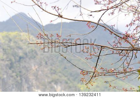 budding Wild Himalayan or Wild Himalayan tree near the mountain