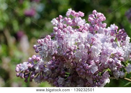 Spring bush lush blossoming lilac in the park