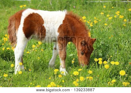 Brown And White Pony On A Dandelion Meadow