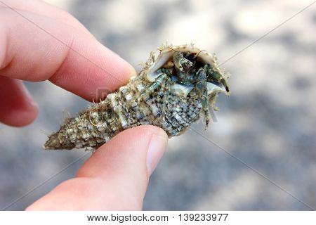 Crab hermit in shell with funny eyes in hand.