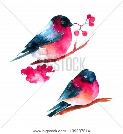 Watercolor bullfinch and ashberry. Hand painted raster illustration