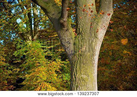 oak tree trunk in an autumn forest