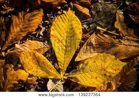 fallen orange and yellow chestnut leaves in autumn