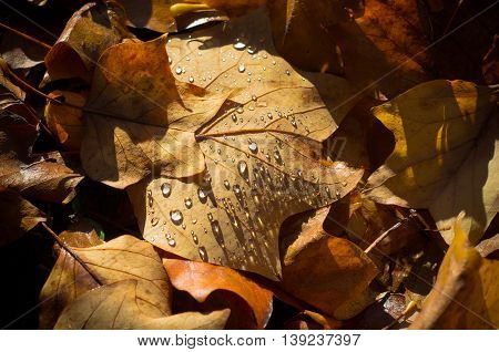 fallen autumn leaves covered with water drops