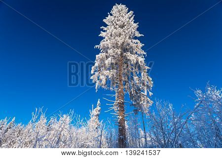 The huge pine under the snow in sunny winter day on the forest and deep blue sky
