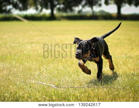 Rottweiler Puppy Small