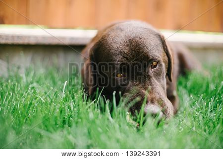 The Majorcan Shepherd Dog On The Grass Court