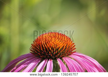 a pretty cone flower in the warm sun with a green background