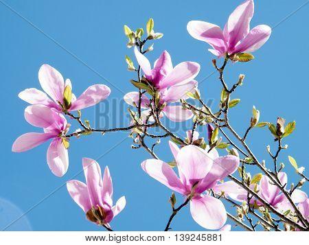 The Magnolia Blossoms in Tysons Corner near Washington DC 1 April 2010 USA