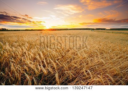 Rural Countryside Wheat Field. Yellow Barley Field In Summer. Harvest Time. Colorful Dramatic Sky At Sunset Sunrise.