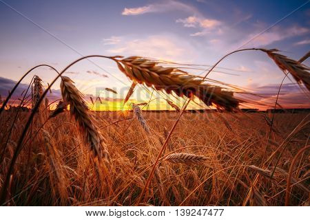 Wheat Field. Yellow Barley Field In Summer. Agricultural Season, Harvest Time. Colorful Dramatic Sky At Sunset Sunrise.