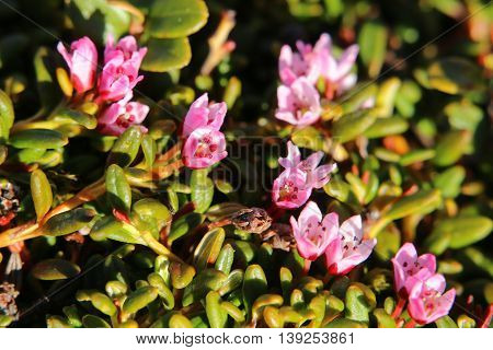 Blossoms Of The Alpine Azalea (kalmia Procumbens)