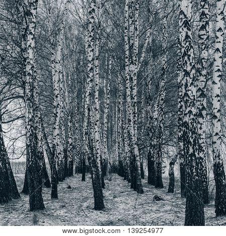 Birch Grove in the snow winter season