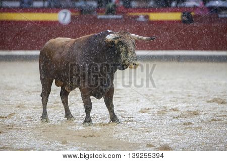 Jaen SPAIN -October 18 2008: Capture of the figure of a brave bull of hair brown color in a bullfight Spain