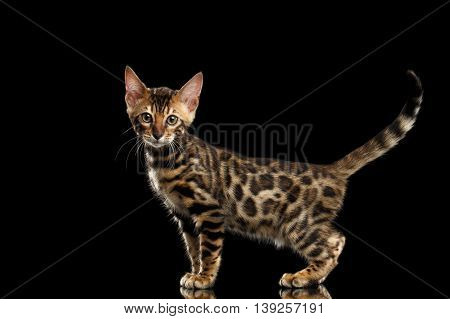 Cute little Bengal Kitty Standing and show his spots on gold, Isolated Black Background, Side view