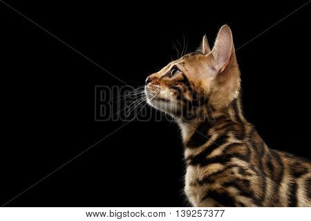 Closeup Profile of Young Bengal Kitty on Isolated Black Background, Side view