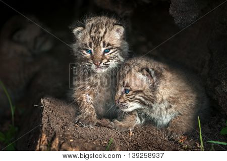 Baby Bobcat Kits (Lynx rufus) Look Out From Log - captive animals