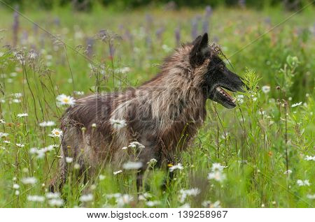 Grey Wolf (Canis lupus) Stands Amongst Flowers - captive animal