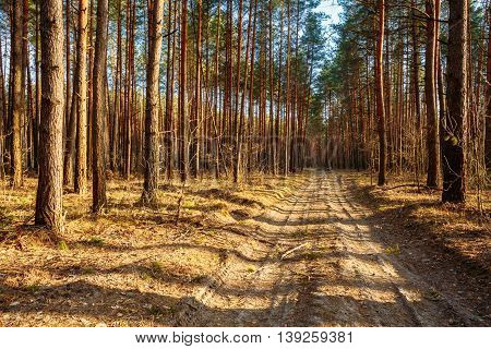 Sandy countryside road, path, walkway through forest. Sunset Sunrise In Autumn Coniferous Forest Trees. Nature Woods.