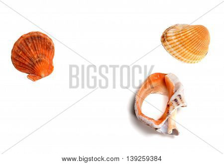 Two Seashells And Broken Rapana