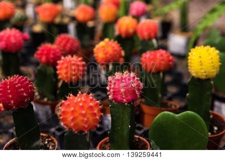 Cactus With Colorful Flowers