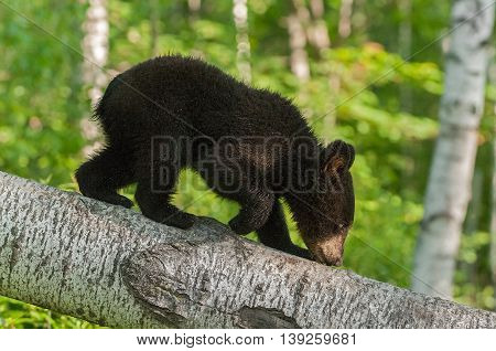 Young Black Bear (Ursus americanus) Climbs Down Branch - captive animal