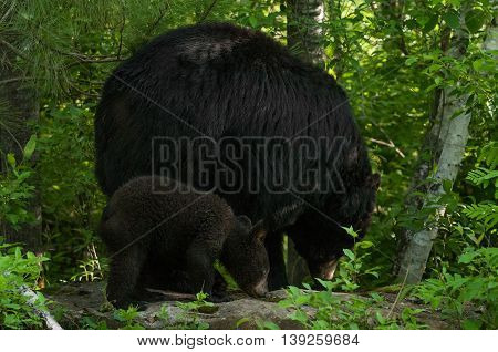 Mother Black Bear (Ursus americanus) and Cub - captive animals