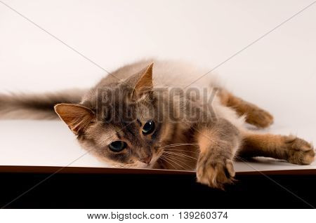 Somali cat blue color on white background