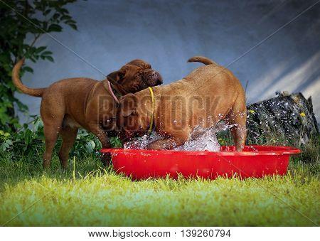 Bordeaux Mastiff Dogs