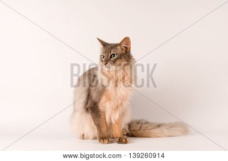 Somali cat blue color on white background sitting portrait