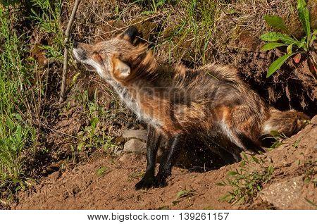 Red Fox Vixen (Vulpes vulpes) Shakes Off Dirt - captive animal