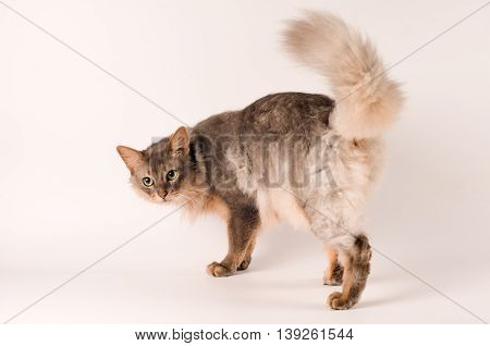 Somali cat blue color on white background rear view