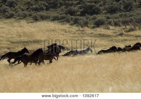 Wild Horses Running In Tall Grass