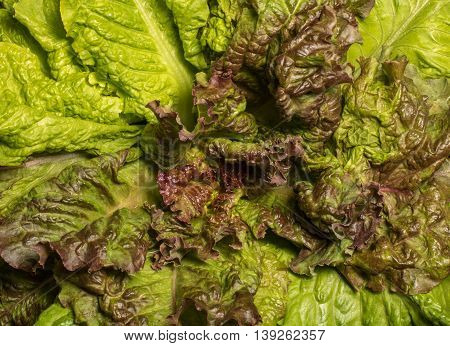 Fresh lettuce close up. Corrugated leaves on entire background