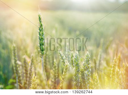 Wheat field - green wheat, unripe wheat lit by sunlight