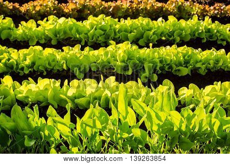 Hydroponic vegetables growing in greenhouse. colorful, horizontal