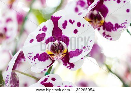 White phalaenopsis orchid flower in a garden