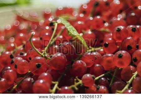 Fresh harvest of red currant - big closeup.