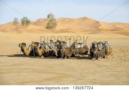 Dromedary (Camelus dromedarius) lying and waiting for tourists in the Sahara Desert