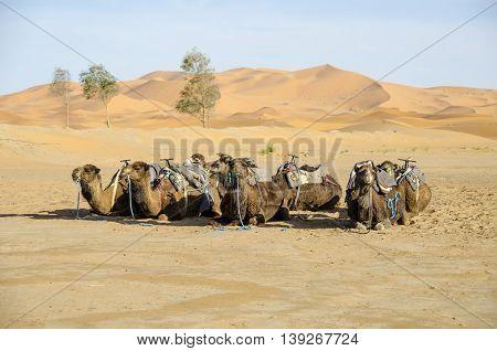 Dromedary (Camelus dromedarius) lying and waiting for tourists in the Sahara Desert